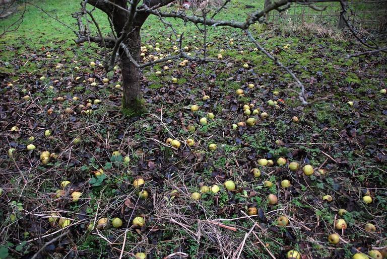 Fallen apples at Isaac Newton's apple tree