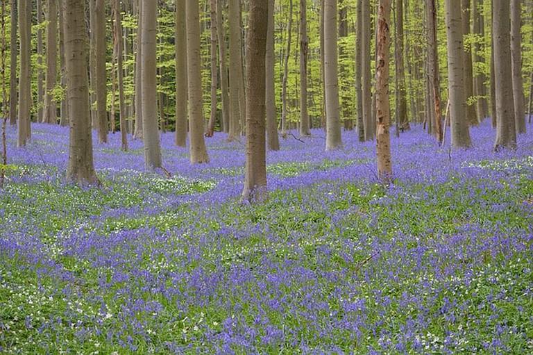 Bluebell woods, UK