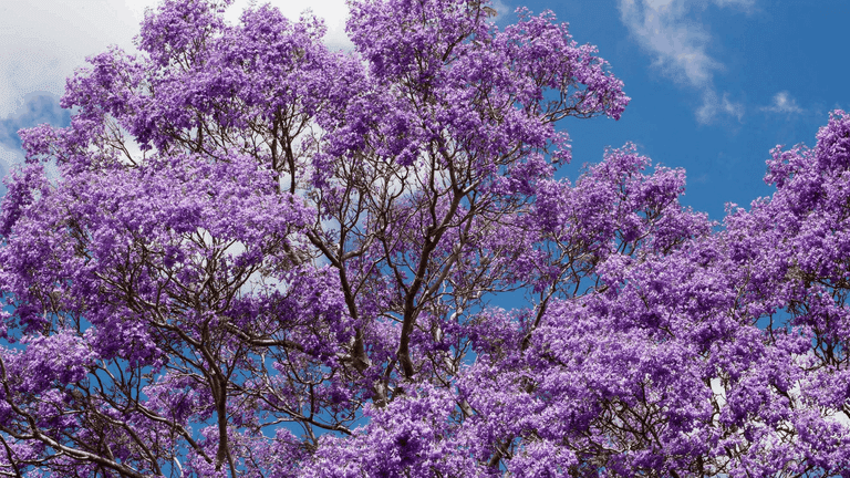 What To Know About South Africa S Majestic Jacaranda Trees