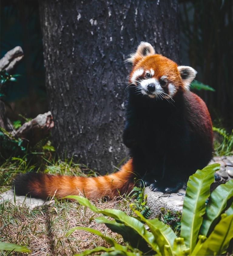 Macau Red Pandas