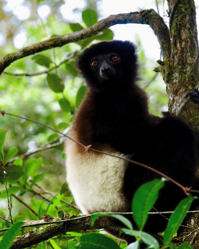 Milne-Edwards' sifaka in Ranomafana National Park