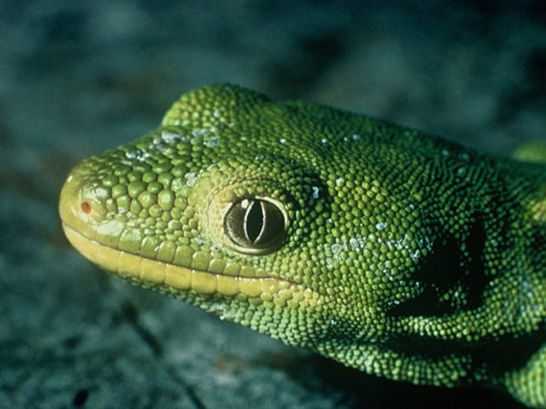 Nelson Green Gecko | ©Department of Conservation's photostream / Flickr