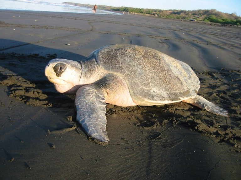 Olive_ridley_sea_turtle
