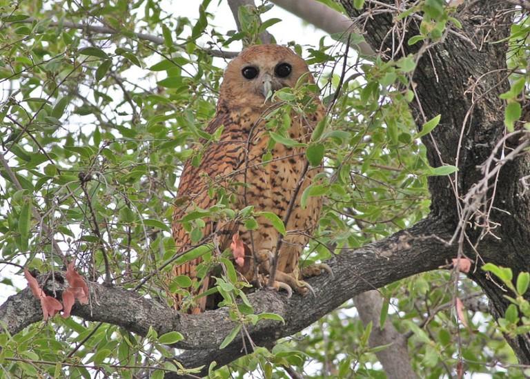 Pel's Fishing Owl