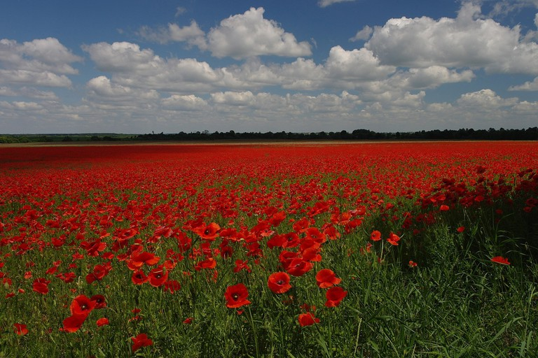 Poppy_Field_near_Ozhydiv