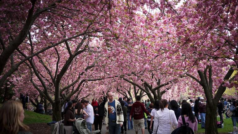 Sakura Matsuri Cherry Blossom Festival at Brooklyn Botanic Garden | vishpool Flickr