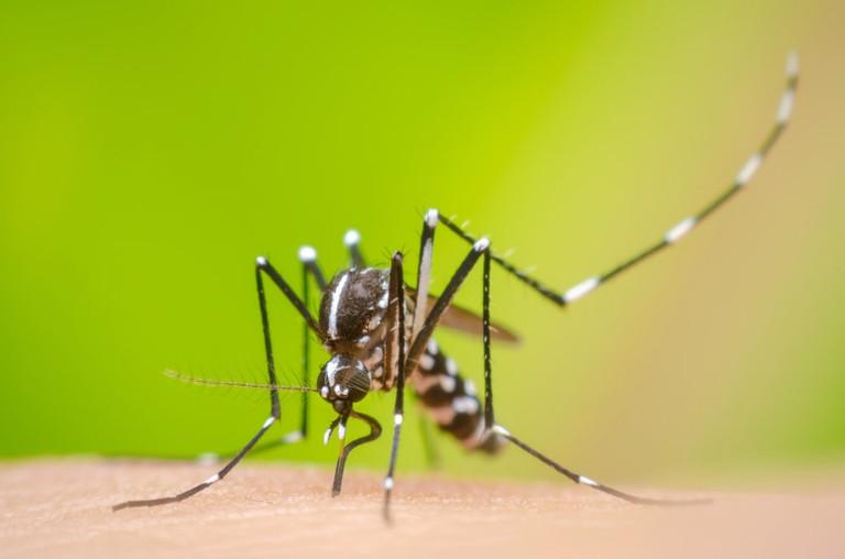A dengue mosquito