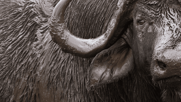 South Africa_buffalo-min