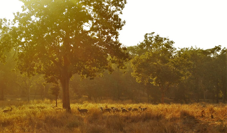 Deer grazing under the tree at Pench National Park