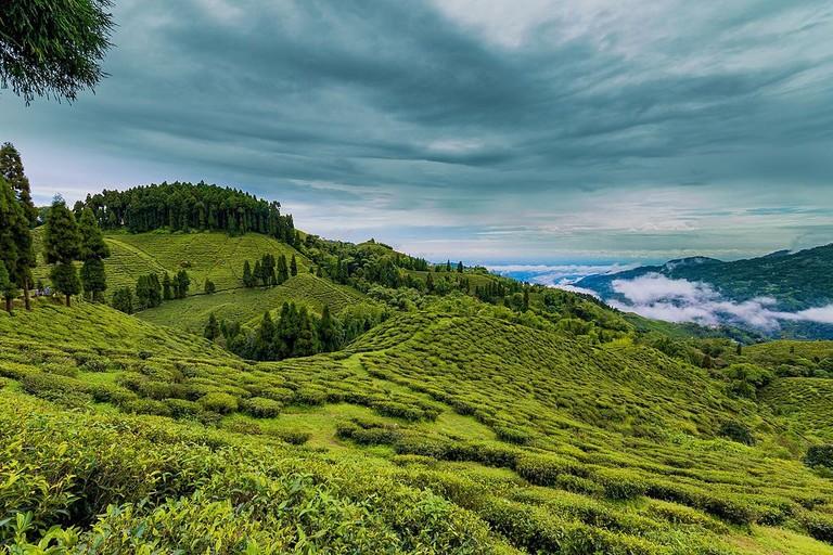 Tea Plantations Darjeeling
