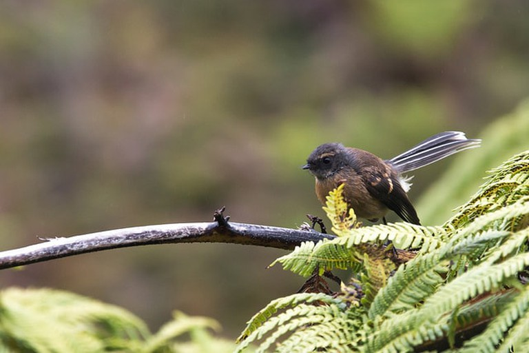 The Chatham Island Fantail | © Roderick Elme / Flickr