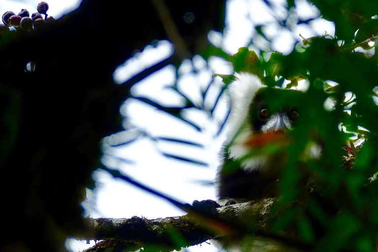A wild black-and-white ruffed lemur watches you through the canopy