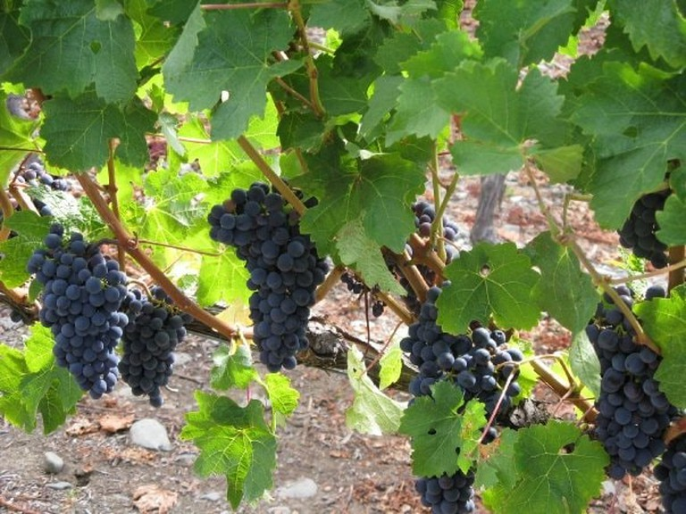 Trinity Hill Grapes | © Pinot noir 76 / Wikicommons