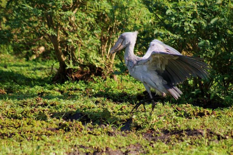10.reasons.to.visit.uganda.gifted.by.shoebill