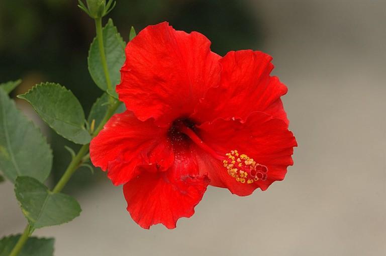 National flower of Malaysia | © Gary Houston/WikiCommons
