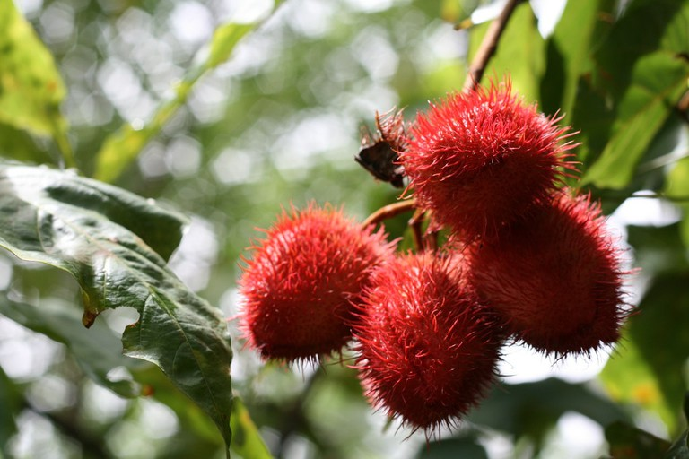 Achoite fruit│
