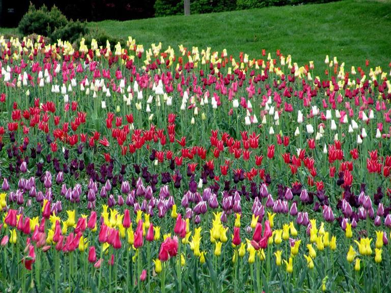 Tulips in Holland | © Rachel Kramer/Flickr