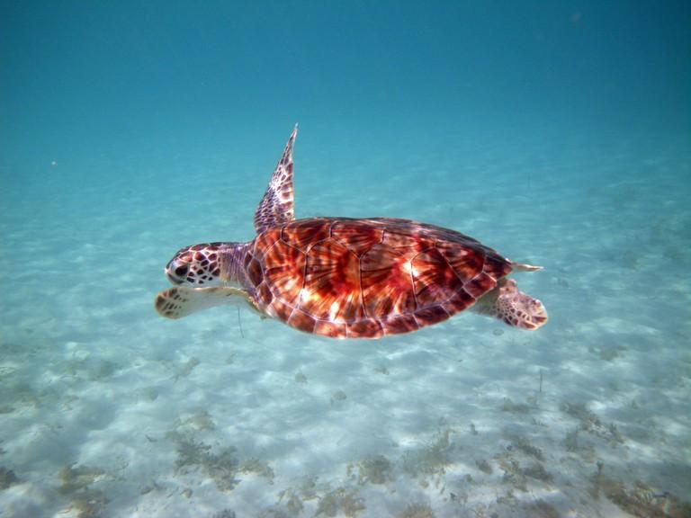 Sea turtle at Maho Bay, St. John, United States Virgin Islands