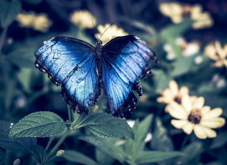 Blue butterfly at the Marjorie McNeely Conservatory