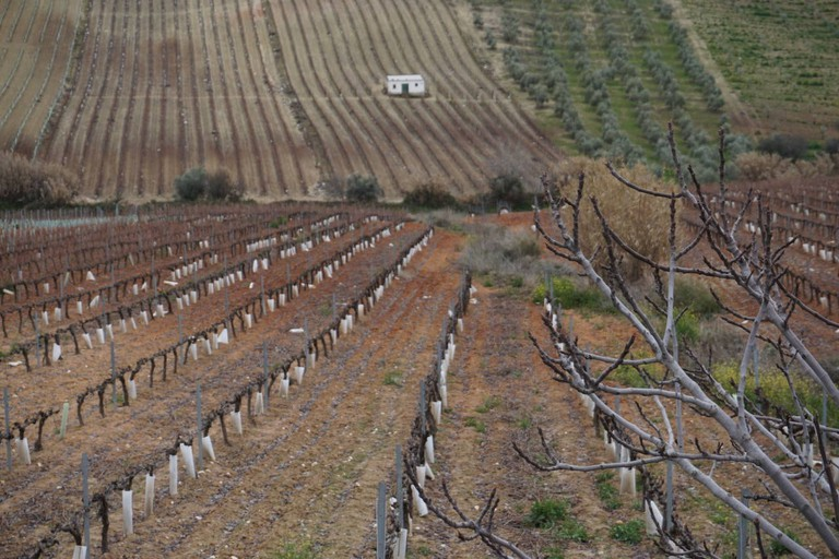 Vineyards in the Montilla-Moriles region of Andalusia
