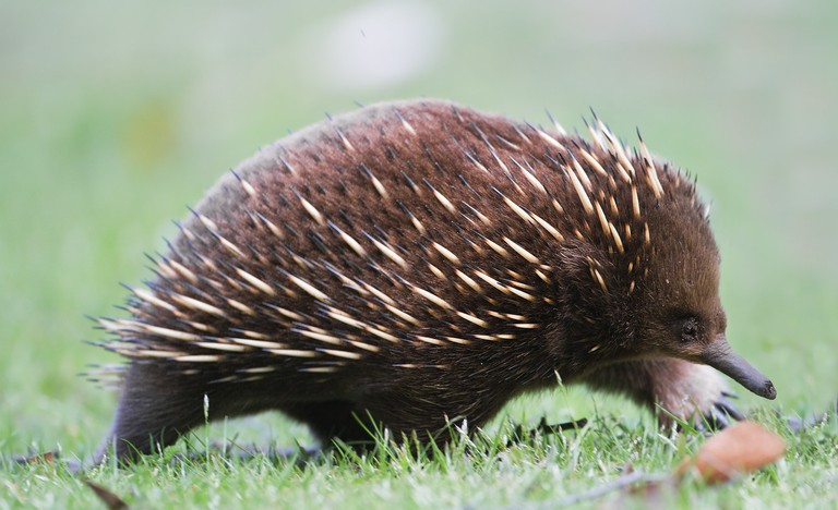 Echidna | © JJ Harrison:Wikimedia Commons