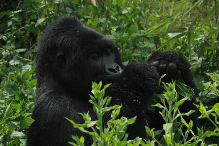 gorilla.trekking.uganda