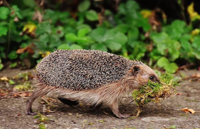 Hedgehog moving with food
