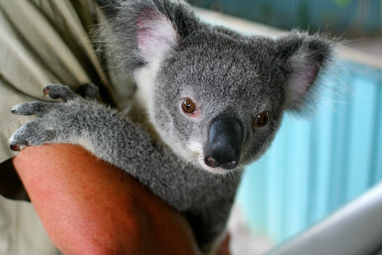 Koala | © Taz:Flickr