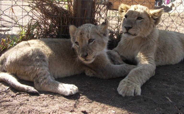 Lions in captivity