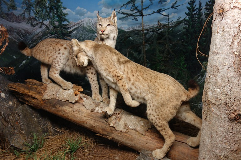 Wild cat display at Museo Civico di Storia Naturale di Milano | © Flickr/Wolf Gang