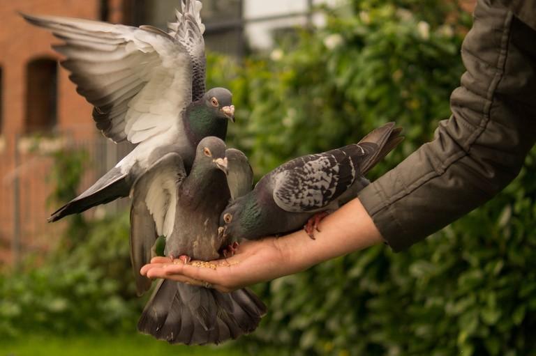 Pigeon Feeding Skitterphoto