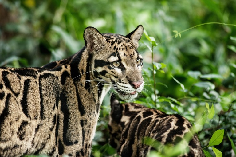 Clouded leopards are often released back into the wild
