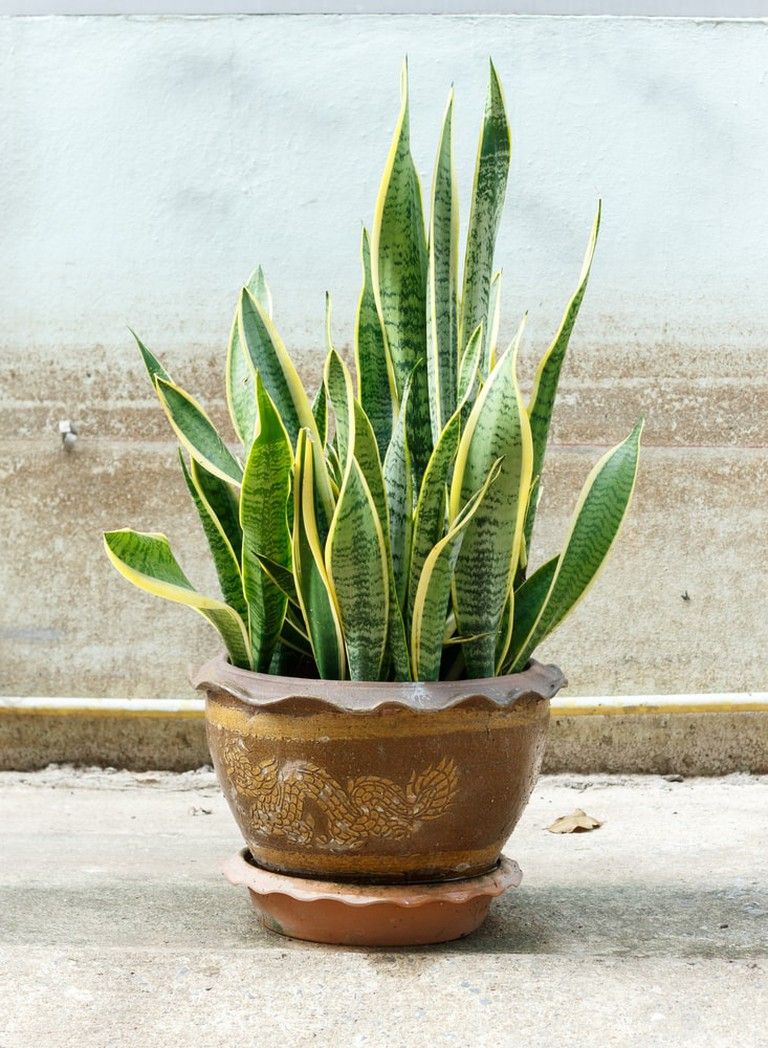 'Sansevieria trifasciata' in pot on old wall background