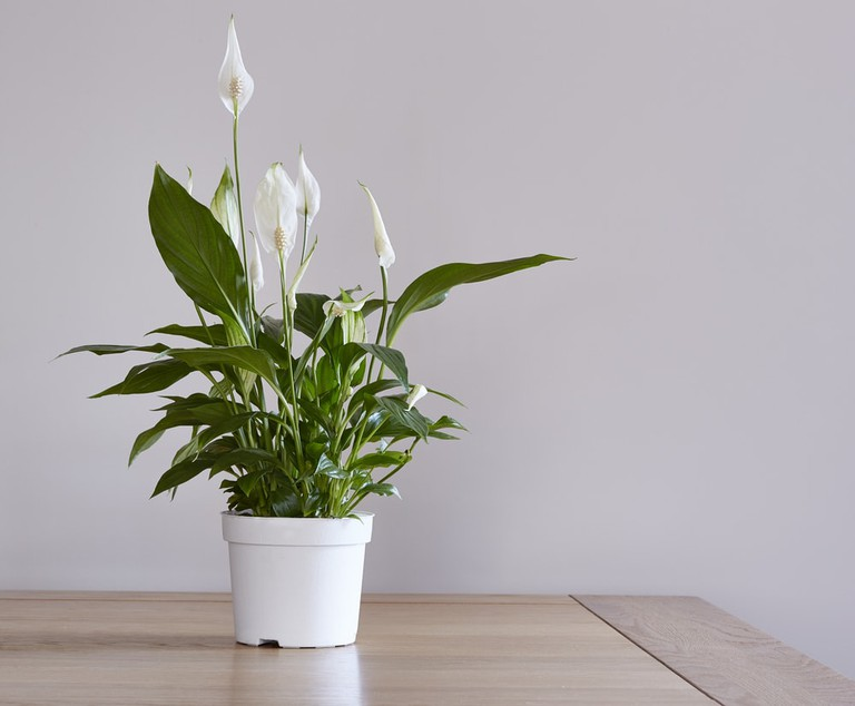 A potted peace lily houseplant on a dining table