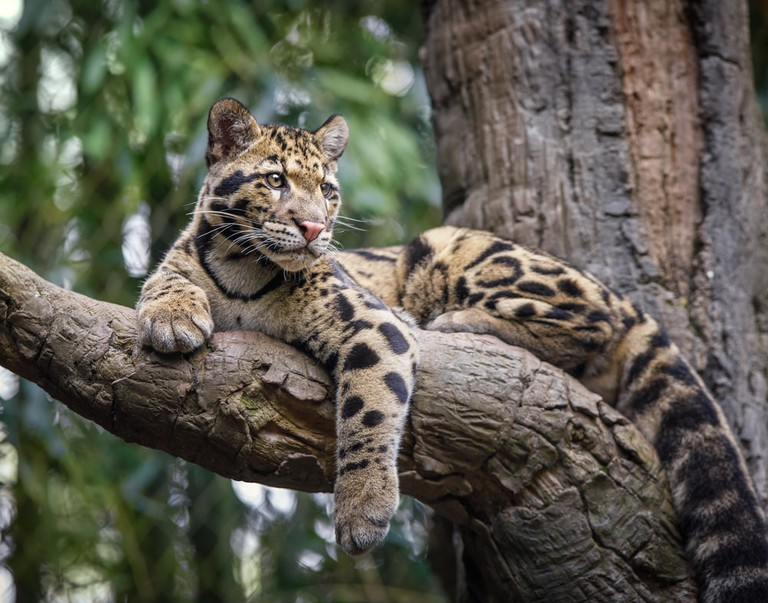 Clouded leopards live in the Cardamoms