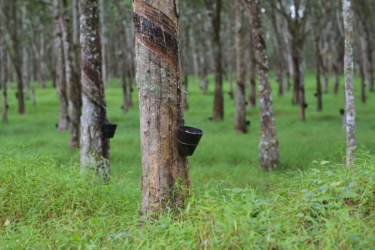 The British brought rubber trees to Malaysia | © Azhari Fotolestari/Shutterstock