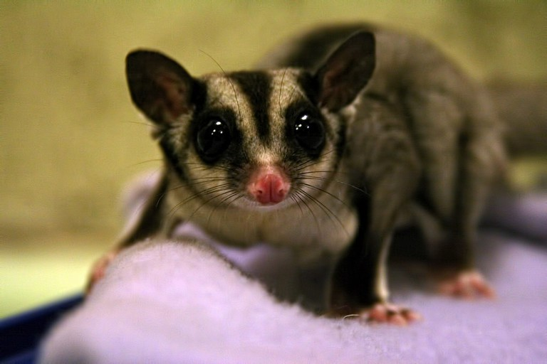Sugar glider | © David Kessler:Flickr