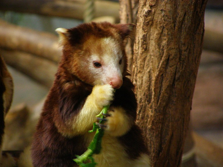 Tree-kangaroo | © belgianchocolate:Wikimedia Commons