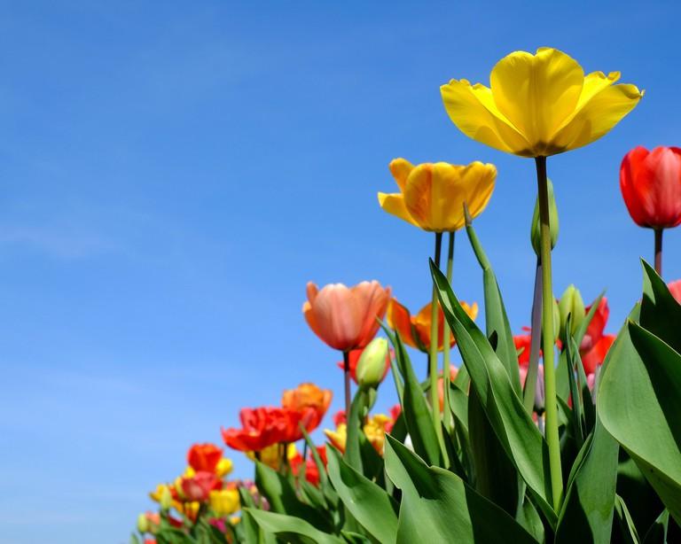 tulips-3064919_1920