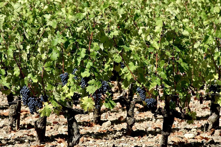 Vineyards in Château Margaux, one of the Bordeaux's finest wines|