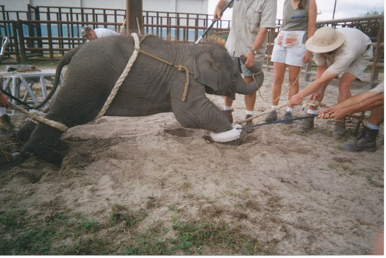 Training a baby elephant