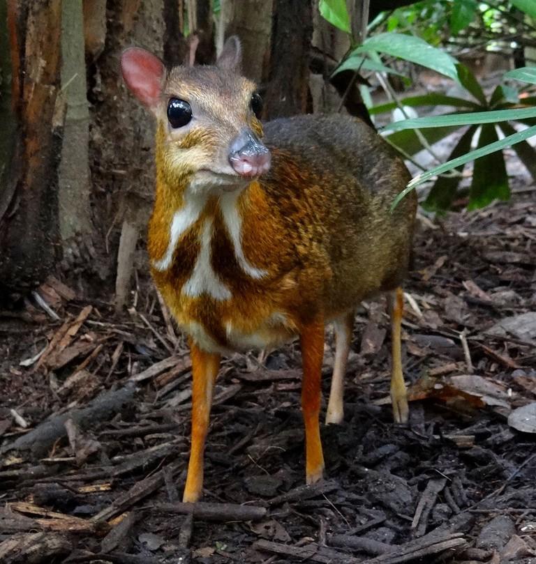 World's smallest hooved animal   © Uspn (Bjørn Christian Tørrissen)/WikiCommons