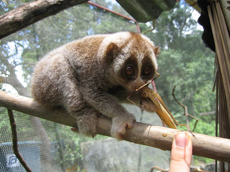Spotting a Slow Loris in the wild can be quite a challenge | © Silke Hahn/WikiCommons