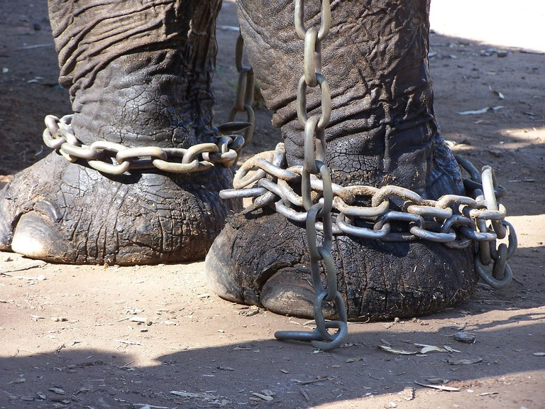 Animal in chains