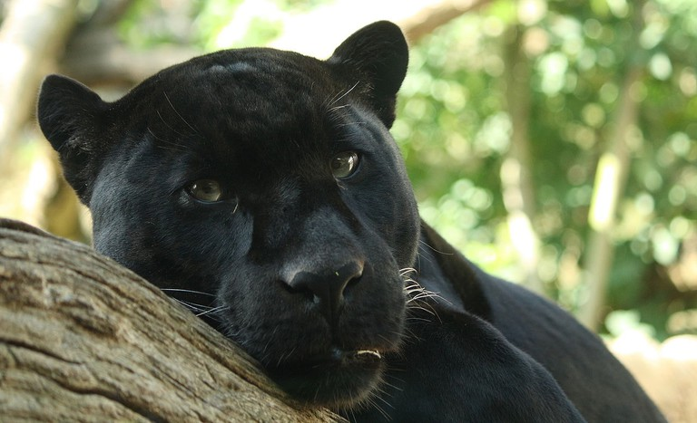 1280px-Black_Panther_by_Bruce_McAdam