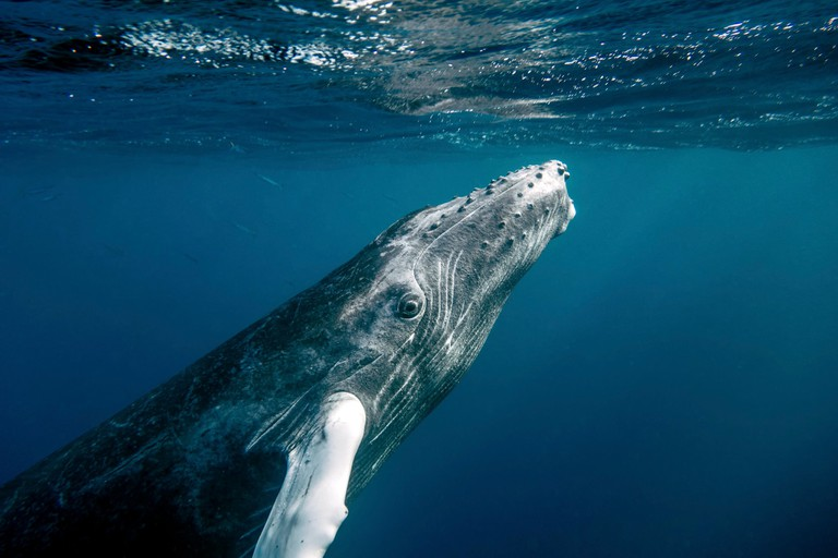 A baby humpback whale swimming up to the surface for air