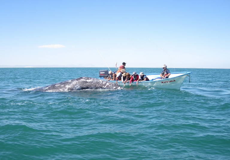 A grey whale approaching a panga boat in the lagoon