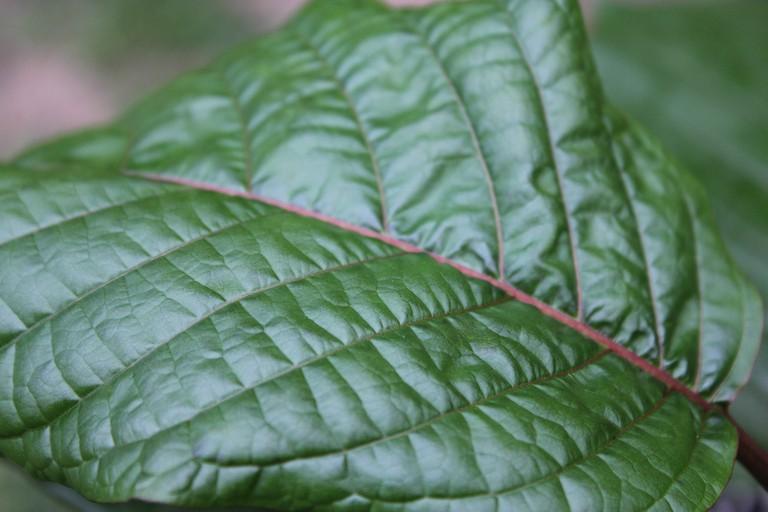 Thailand's illegal leaf