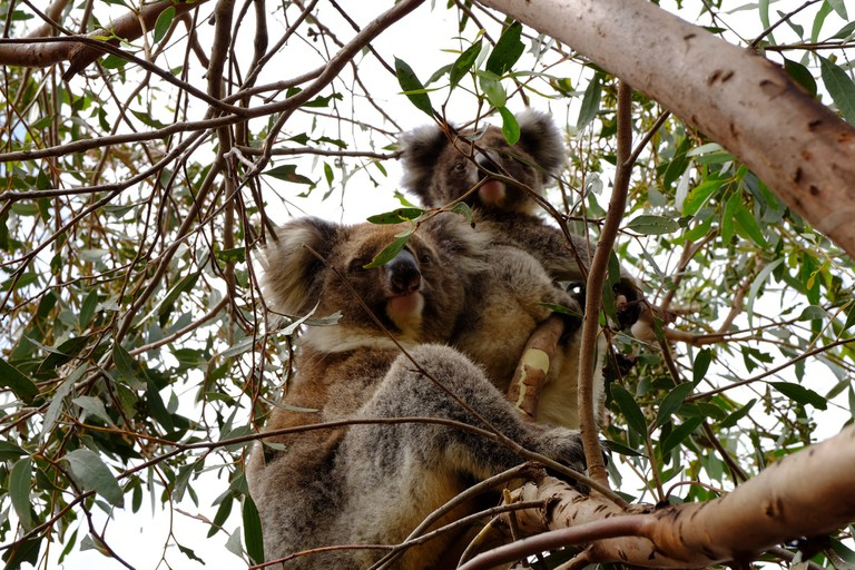 Koala time on Kangaroo Island