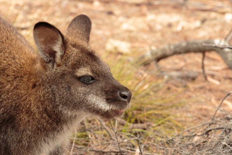 Up close to a Wallaby at Freycinet National Park